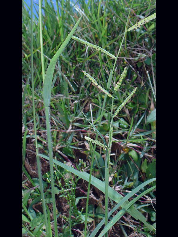 スズメノヒエ 葉と茎