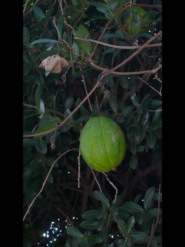 キカラスウリ 果実