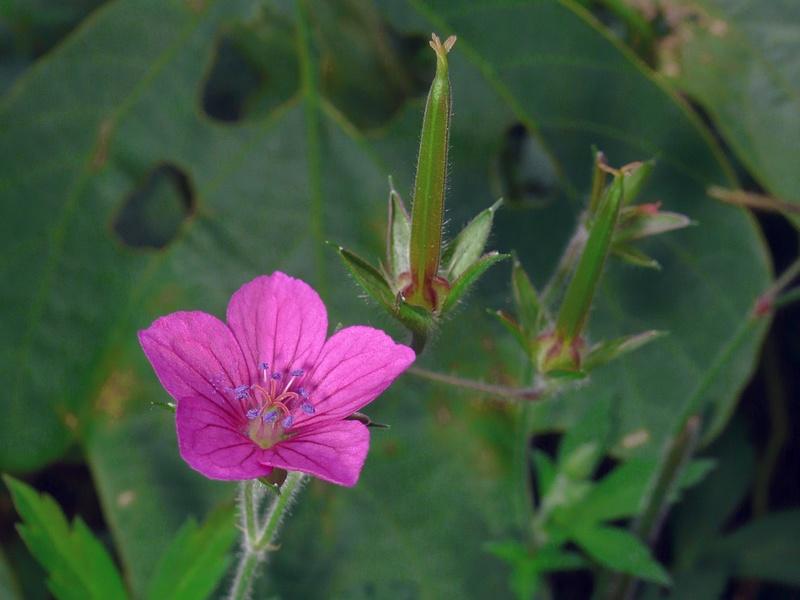 ゲンノショウコ 花の拡大