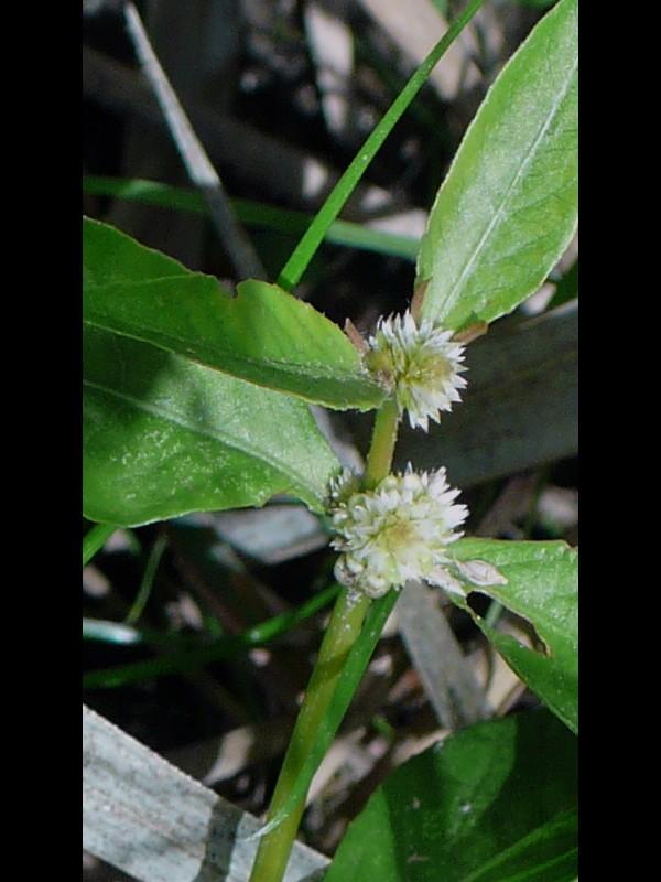 ツルノゲイトウ 花