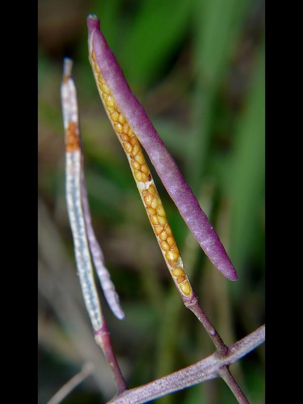イヌガラシ 果実と種子