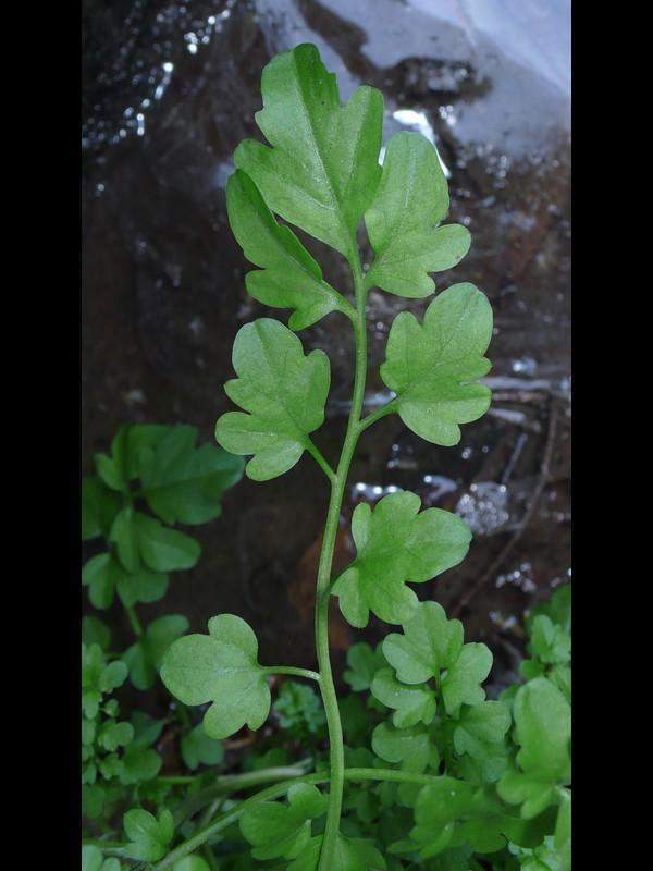 アキノタネツケバナ 中部の葉