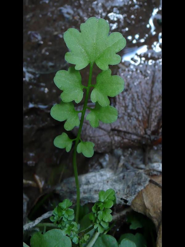 アキノタネツケバナ 根生葉