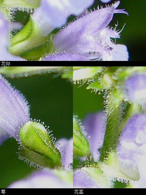 ケブカアキノタムラソウ 花序・萼の毛