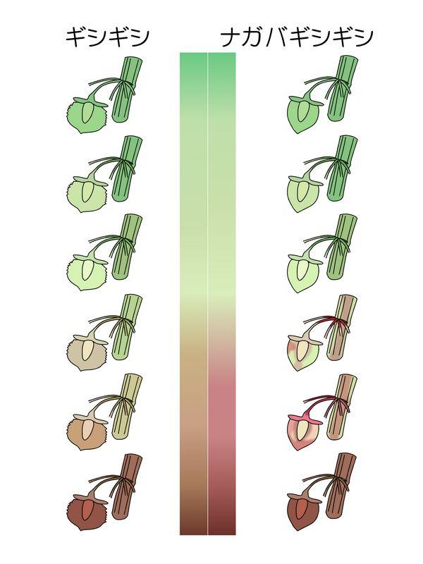 ギシギシ ナガバギシギシ 色変化
