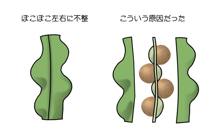 ハリゲナタネ 種子