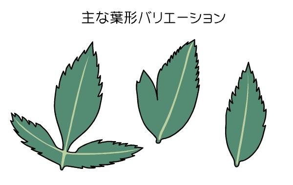 フジバカマ 葉形の図