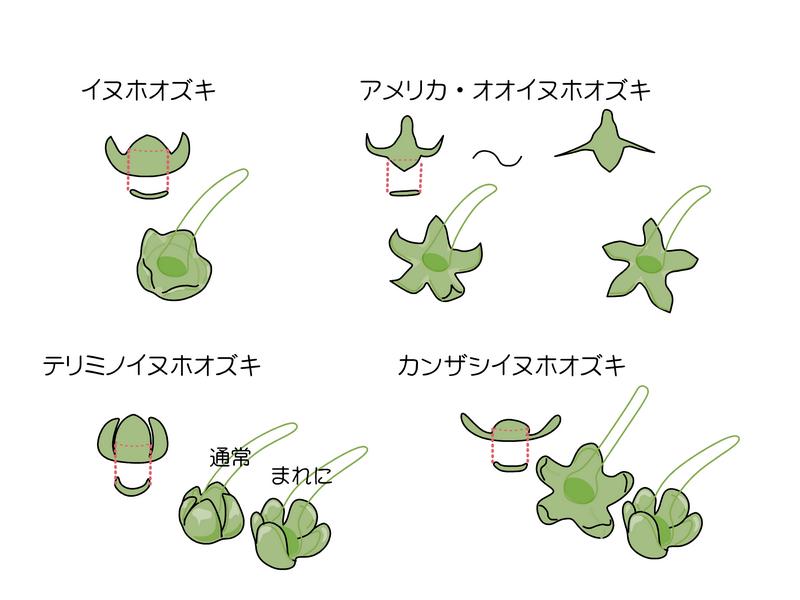 イヌホオズキ類 果実期の萼の違い