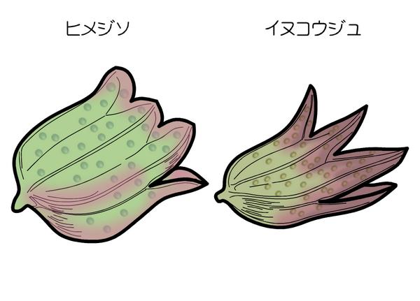 イヌコウジュ ヒメジソ 萼の比較