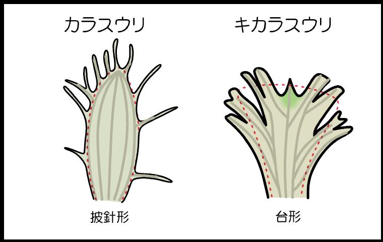 カラスウリ キカラスウリ 花冠の違い