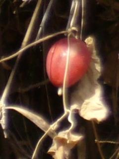 カラスウリ 果実