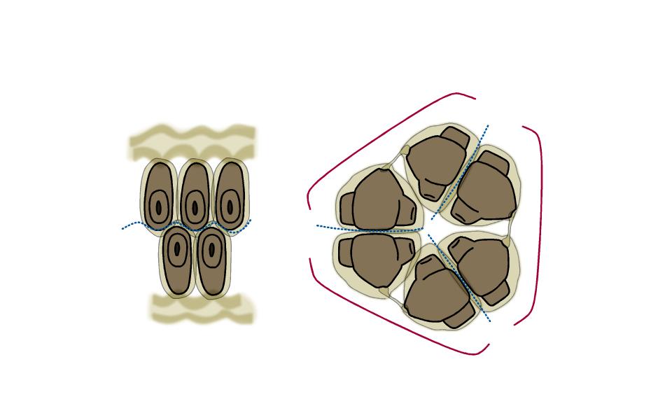 カラスウリ 果実内部の図