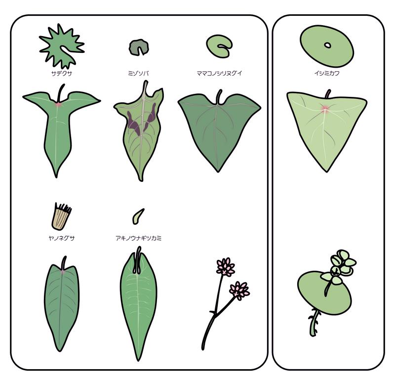 ママコノシリヌグイ 他、イヌタデ型ではないタデ科の葉の比較図