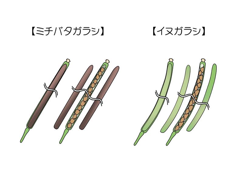 イヌガラシ(アオイヌガラシ) ミチバタガラシ 果実