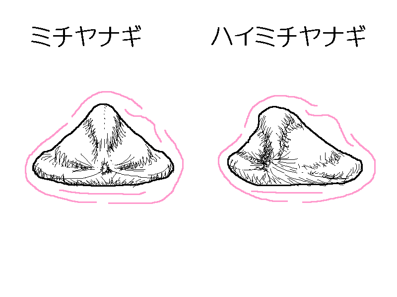 ミチヤナギ・ハイミチヤナギの痩果比較図