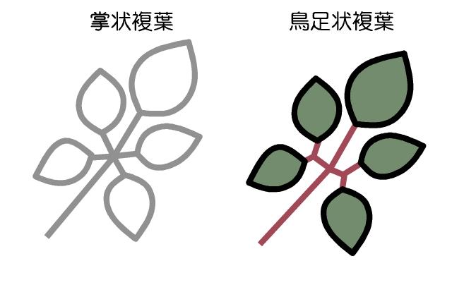 ヤブガラシ 葉の解説図
