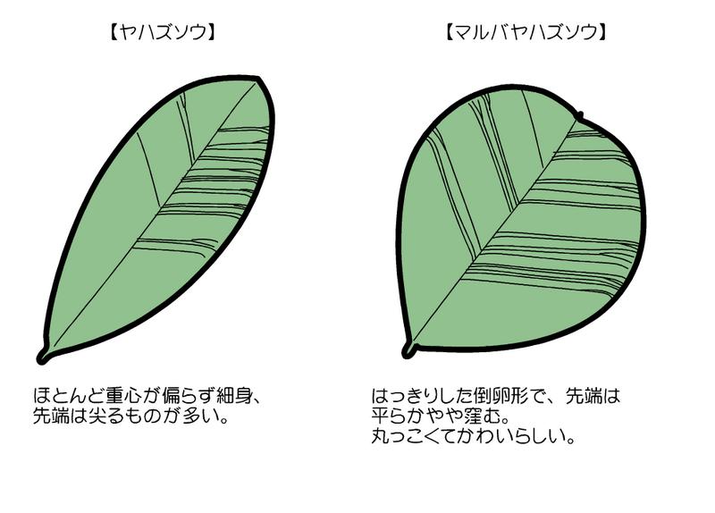 ヤハズソウとマルバヤハズソウの葉の違い