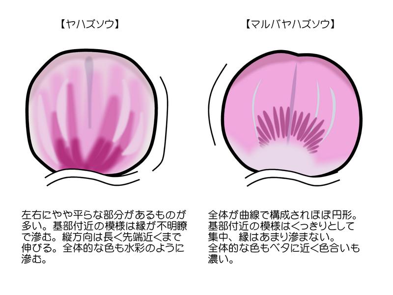 ヤハズソウとマルバヤハズソウの花の違い