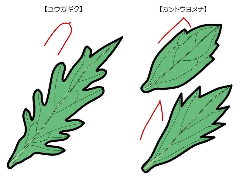 カントウヨメナ ユウガギク 葉の傾向