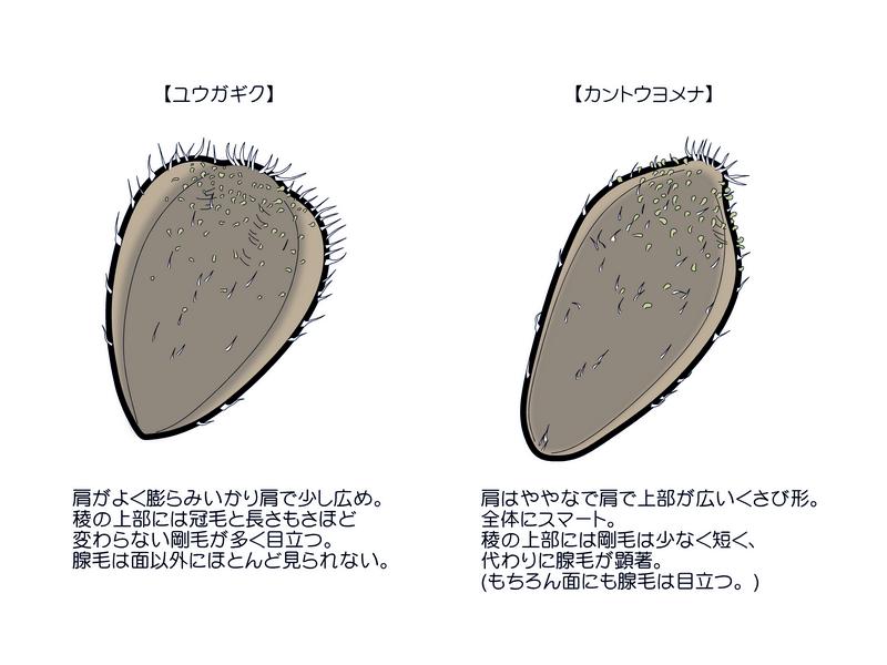 カントウヨメナ 果実