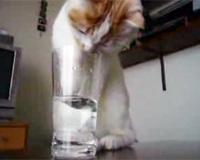 グラスの水を飲む猫