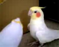 オカメインコのココ(時報から鬼太郎♪)