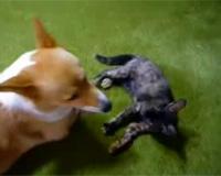 ねこVS犬 寝技で勝負!(2R)