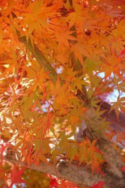 オレンジ色の紅葉