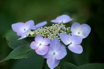 #001 紫陽花