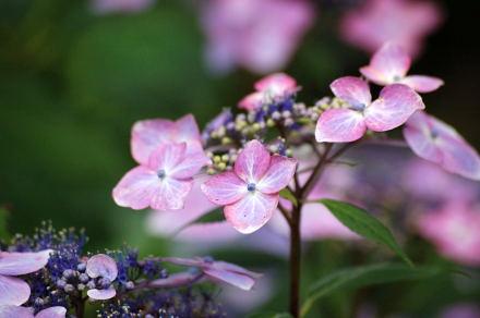 #005 紫陽花
