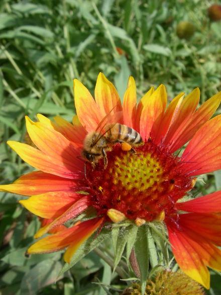 #003 ミツバチ