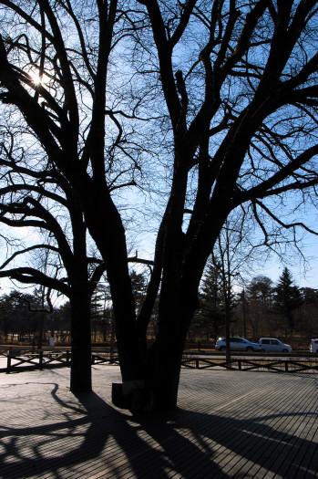 #003 大きな木