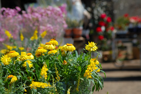 #004 黄色い花 [D50]