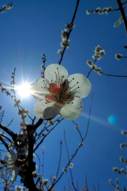 #003 梅と太陽 [GR-D]