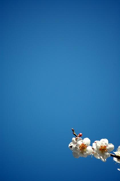 #005 ブルーと梅 [D50]