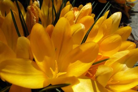 #001 黄色い花(クロッカス)