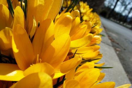 #002 黄色い花(クロッカス)