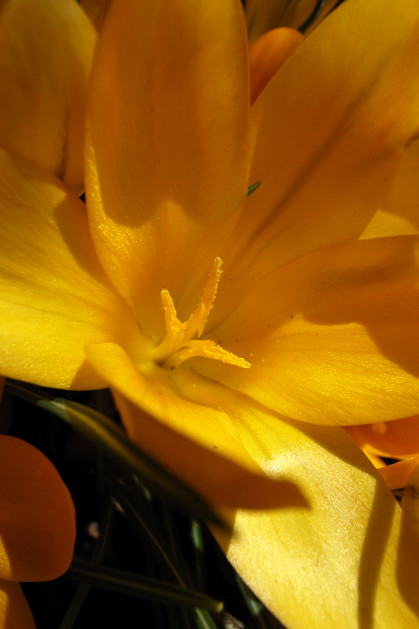 #003 黄色い花(クロッカス)