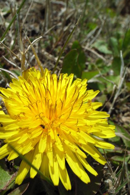 #004 黄色い花(たんぽぽ)