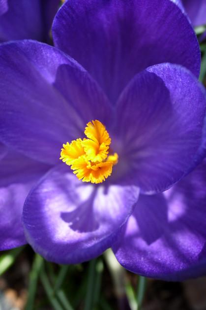 #001 青い花 (クロッカス)