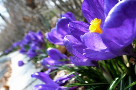 #005 青い花 (クロッカス)