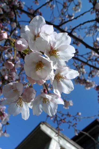 #002 桜~♪