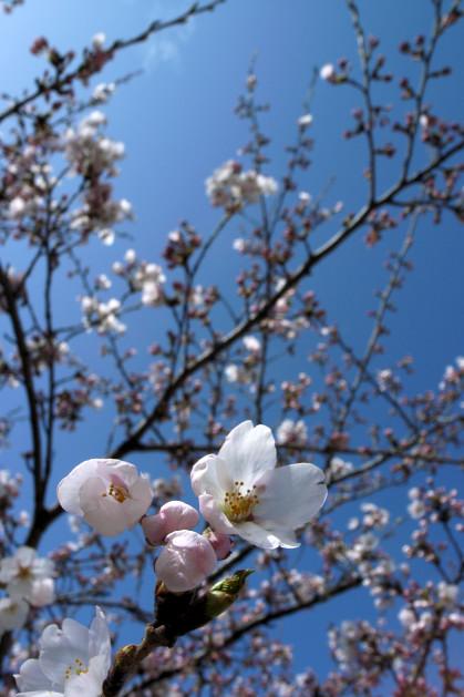 #003 桜~♪