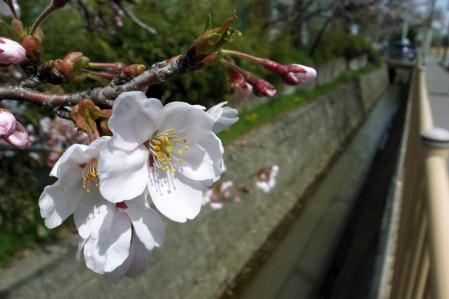 #001 桜~♪桜~♪