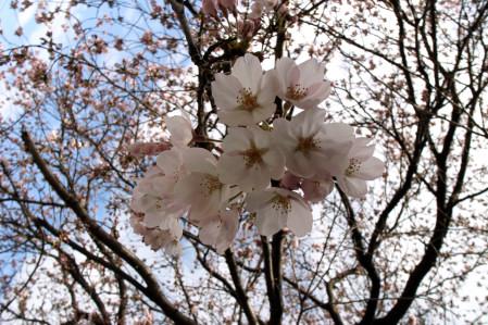 #002 桜~♪桜~♪