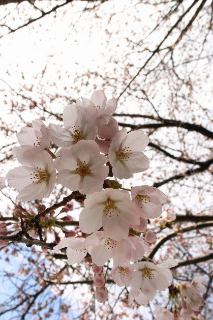 #003 桜~♪桜~♪