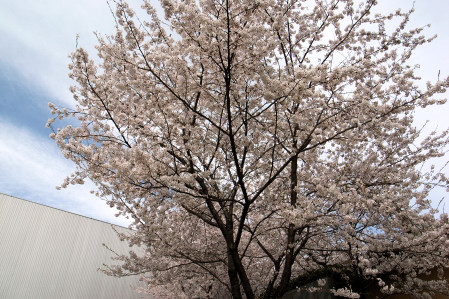 #002 城山の桜