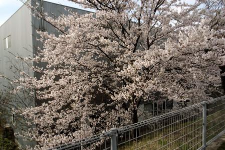 #003 城山の桜