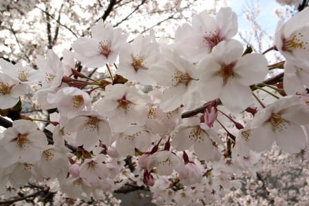 #004 城山の桜