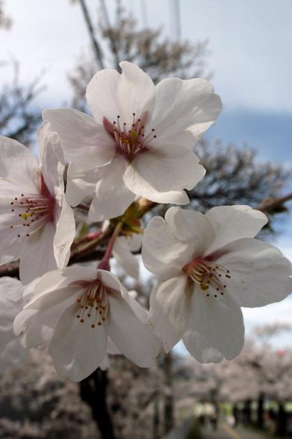 #005 城山の桜